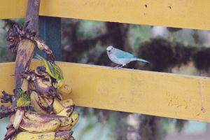 Blue-gray tanager at Las Cruces