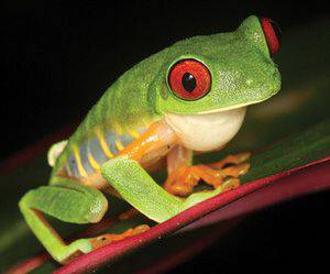Red-eyed tree frog, Agalychnis callidryas. Photo by Brian Stucky.